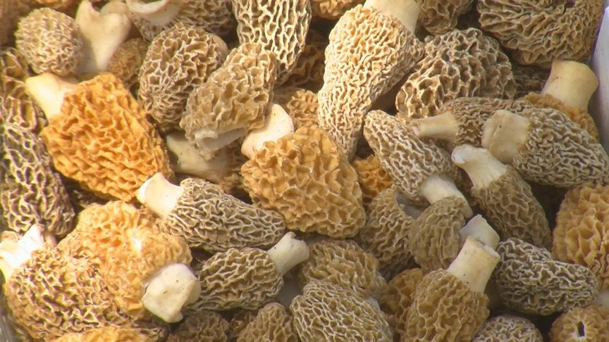 Morels Spores Outdoor Grow Kit 3 Pack – Fast and Super Simple - Gardens, Soil and Plant Booster