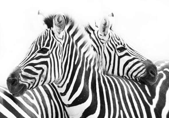 Loftdeco 1704 20x30cm no frame / no frame 1 Black And White Line Canvas Art Paintings On The Wall Abstract Zebra Animals Wall Posters And Prints Cuadros Pictures Home Decor toile peinture decoration  art moderne  popart