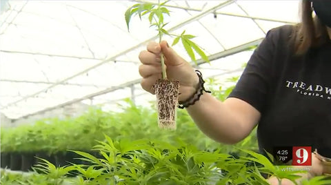 Treadwell Farms Hemp Seedling Plant being held in air