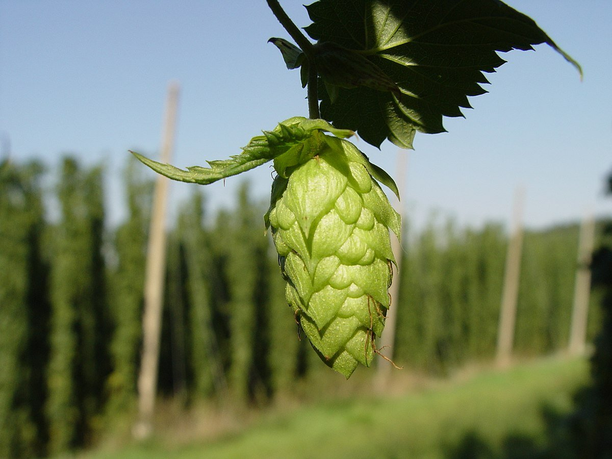 Hops - Warrior