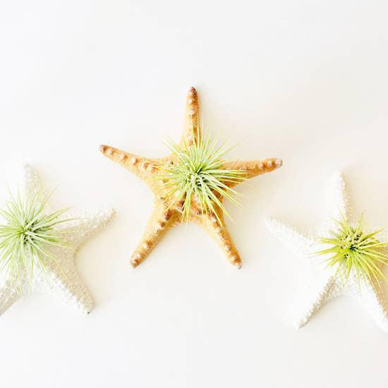 Starfish Air Plant