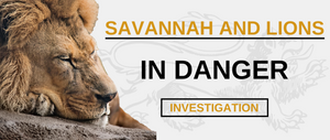 The savannah and its lions are in serious danger !