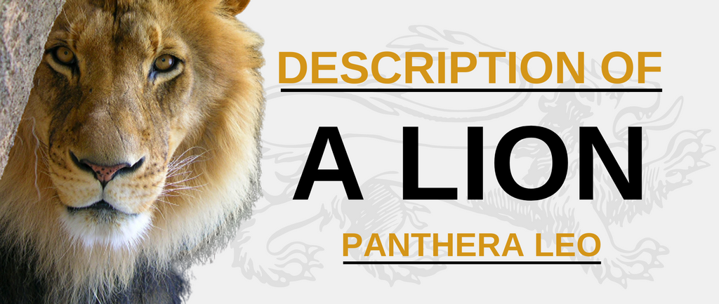 Description of a Lion (Panthera Leo)