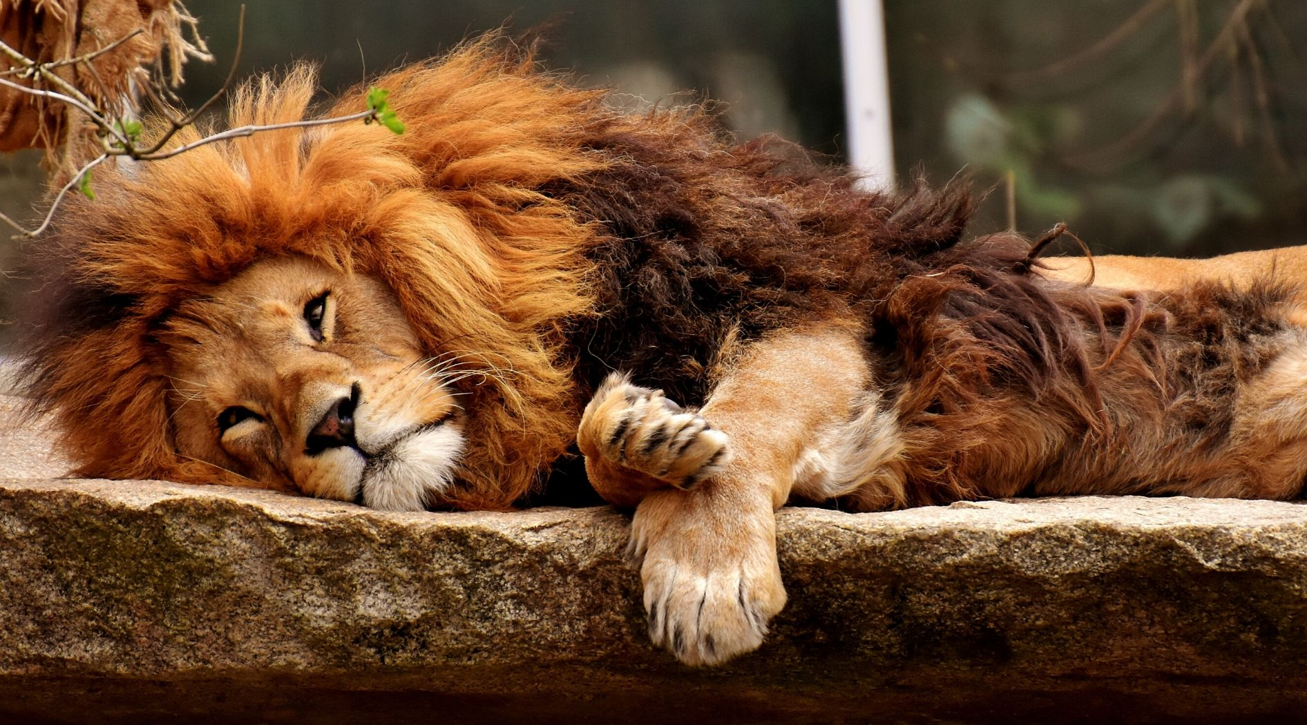 Barbary Lion.