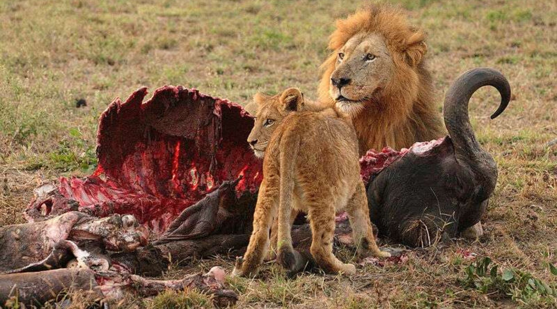 Lion and cub with their prey.