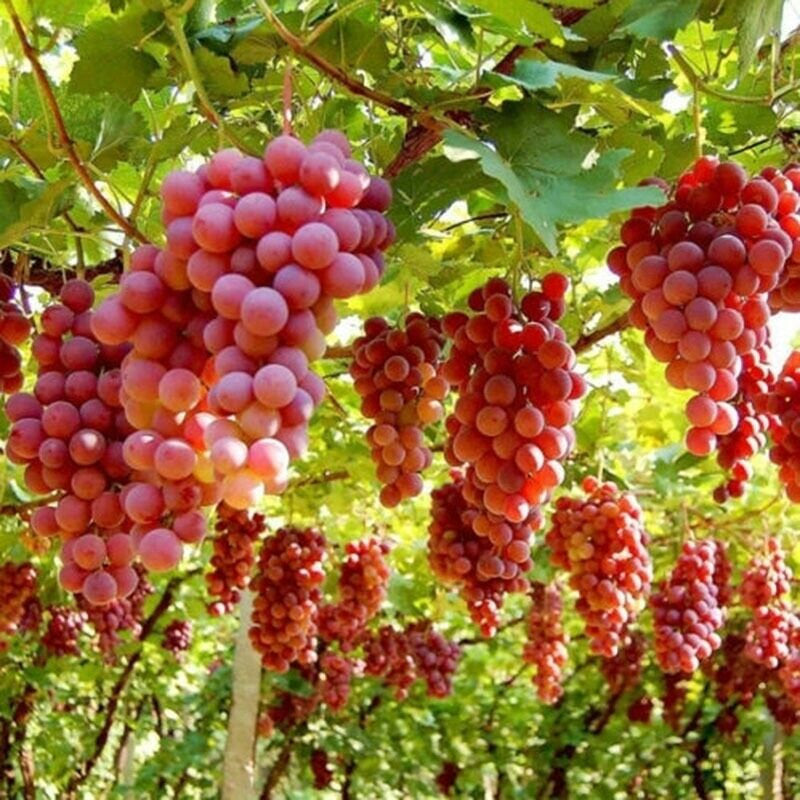 Ruby Roman Grapes 5 Stratified Seeds – Passion For Plantation