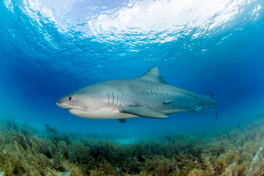 Tiger Shark Portrait - Tiger Beach, Bahamas