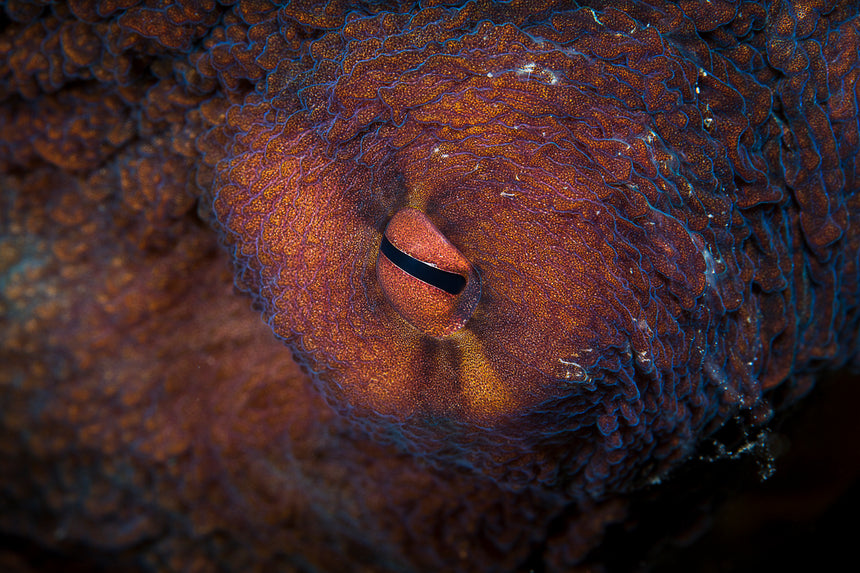 Octopus Eye - Komodo, Indonesia