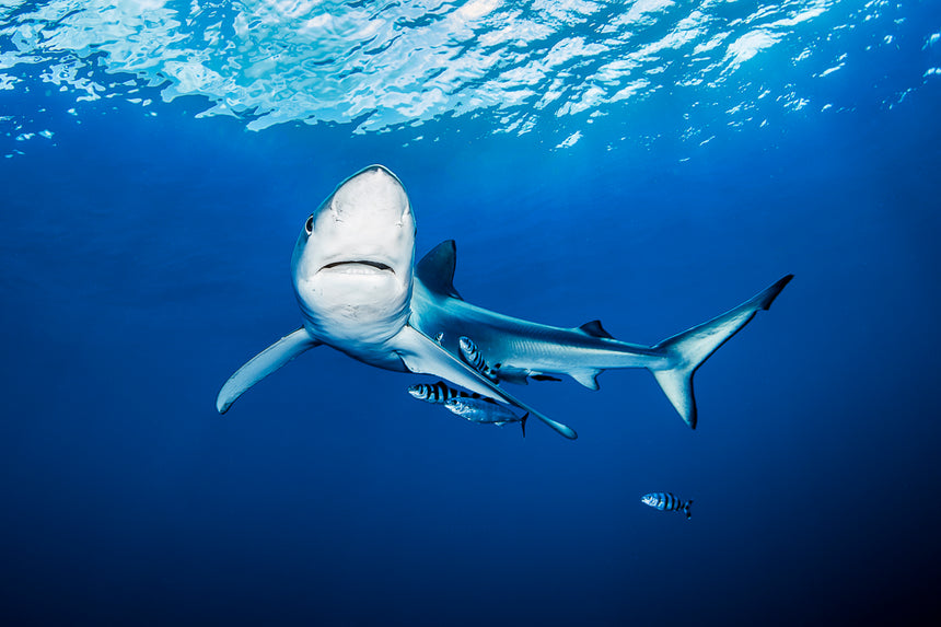 Hey There - Blue Shark - Azores