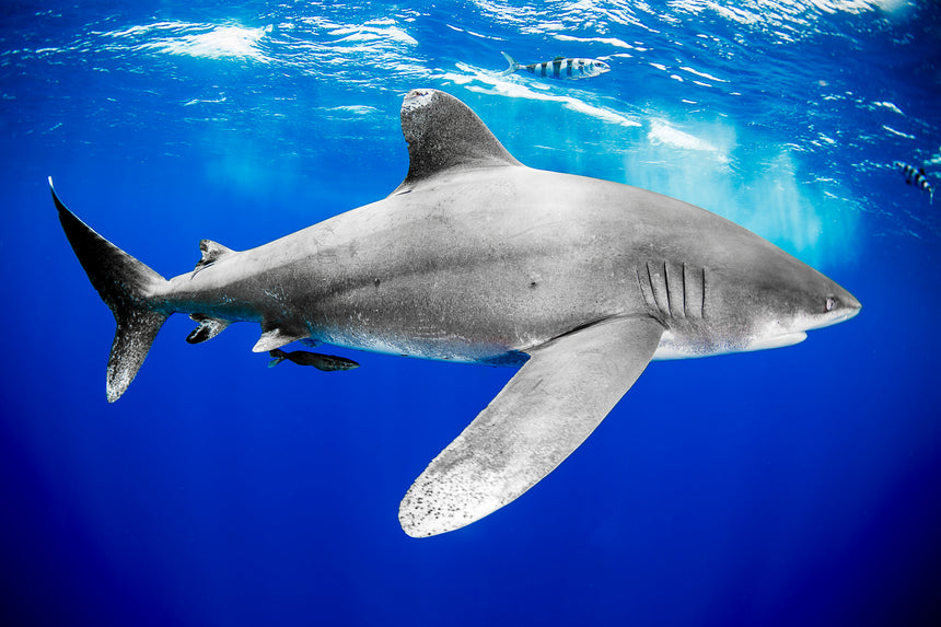 Oceanic White Tip Shark Portrait ll - Cat Island, Bahamas