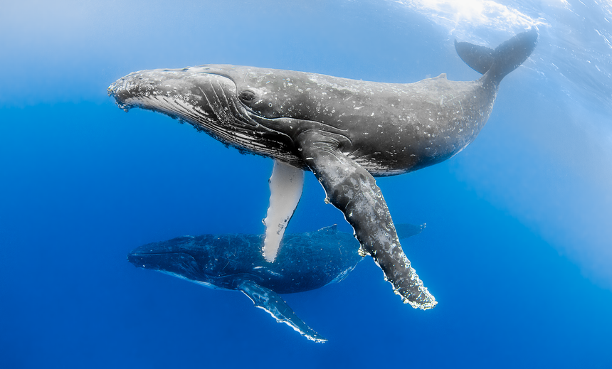 We See You - Humpback Whales - Vava'u, Tonga