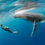Dance With Me - Humpback Whales - Vava'u, Tonga