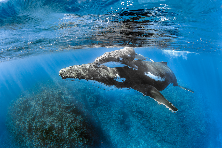 Over the Reef - Humpback Whales - Vava'u, Tonga