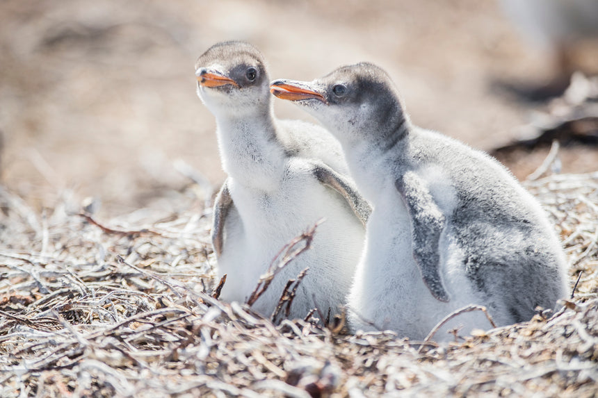 Baby Gentoo Penguins - Falkland Islands