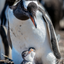 Baby Gentoo Penguins & Mom - Falkland Islands