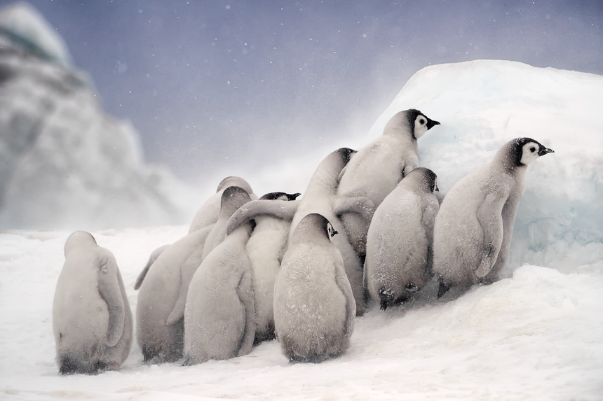 Huddle - Emperor Penguin Chicks - Snow Hill, Antarctica