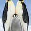 Family (Vertical) - Emperor Penguin Chick with Parents - Snow Hill, Antarctica