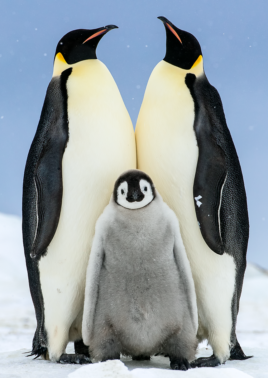 Bored - Emperor Penguin Chick - Snow Hill, Antarctica