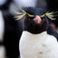 Rockhopper Penguin Portrait - Falkland Islands