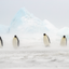 We Will Make It - Emperor Penguins - Snow Hill, Antarctica