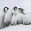 Huddle Closer - Emperor Penguin Chicks - Snow Hill, Antarctica