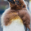 Molting King Penguin Chick - Falkland Islands