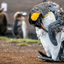 Molting King Penguin lll- Falkland Islands