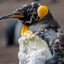 Molting King Penguin ll - Falkland Islands