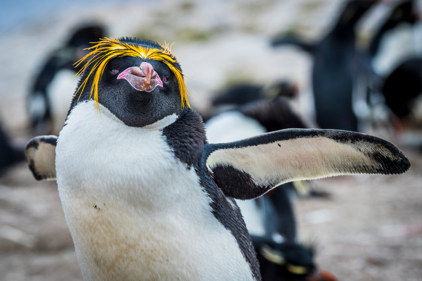 Macaroni Penguin ll- Falkland Islands