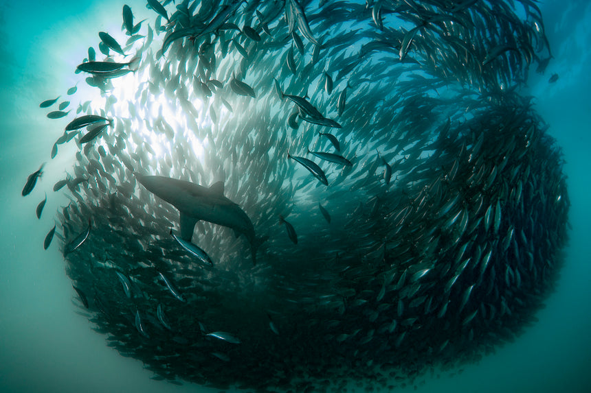 Shark Bait Ball - Port Saint Johns, South Africa - Sardine Run
