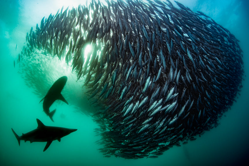 Shark Bait Ball ll - Port Saint Johns, South Africa - Sardine Run