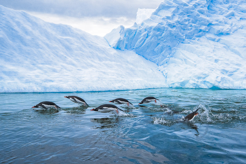 Gallop - Gentoo Penguins - Antarctica