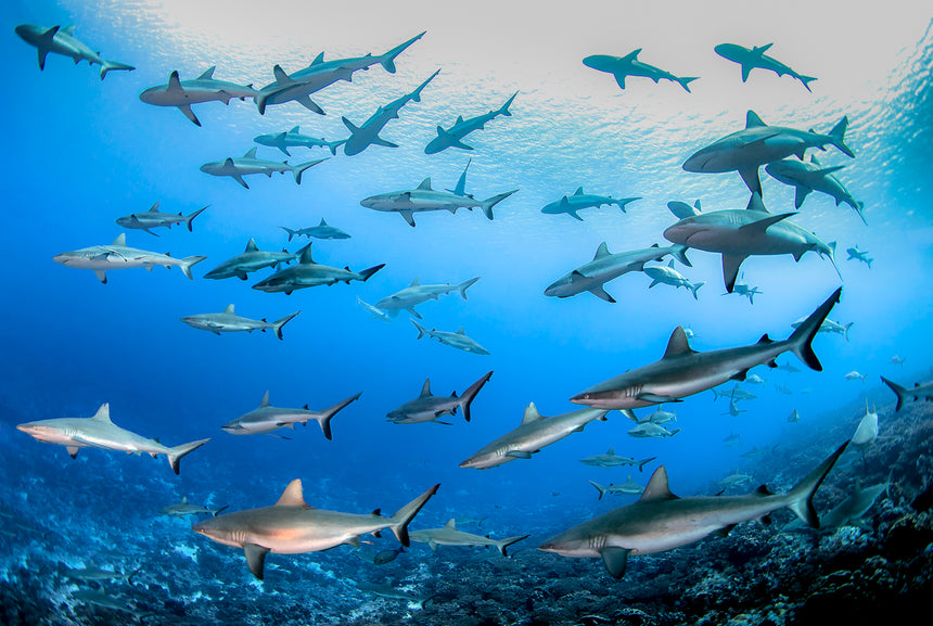 Conference of the Sharks - Fakarava , French Polynesia