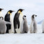 Follow the Leader - Emperor Penguins - Snow Hill, Antarctica