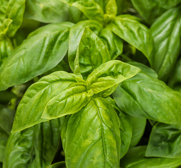 Pesto Besto™ Basil: Pesto Recipe and Dinner Ideas 🌿🍝