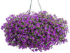 Patio Plants|Lobelia - Laguna Ultraviolet Mono Hanging Basket 1