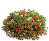 Proven Winners® Patio Plants|Vacation Days Combination Hanging Basket 1