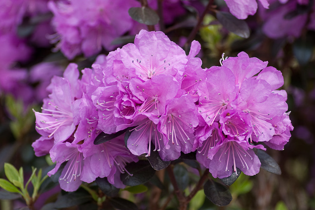 Proven Winners® Shrub Plants|Rhododendron - Amy Cotta' 1