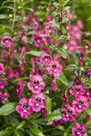 Annual Plants|Angelonia - Angelface Perfectly Pink Summer Snapdragon  1