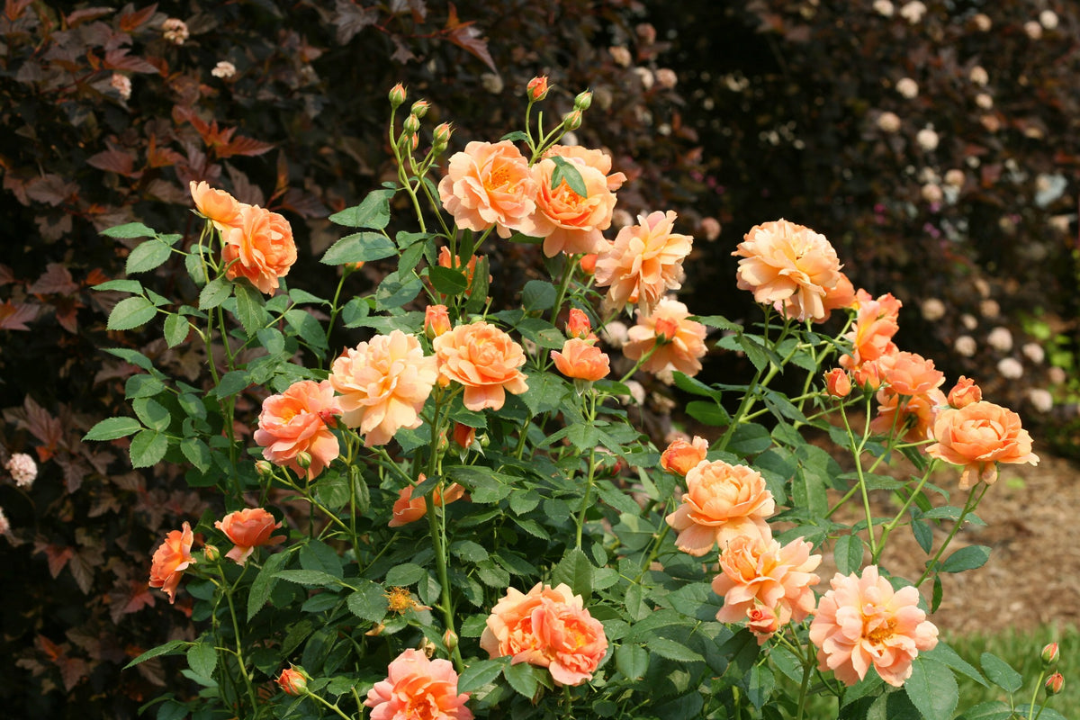 Proven Winners® Shrub Plants|Rosa - At Last Rose 2