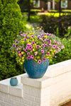 Proven Winners® Patio Plants|Bahama Beach Combination Hanging Basket 3