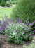Shrub Plants|Buddleia - Lo & Behold 'Blue Chip Jr.' Butterfly Bush  1
