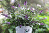 Shrub Plants|Buddleia - Lo & Behold 'Blue Chip Jr.' Butterfly Bush 5