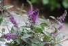 Shrub Plants|Buddleia - Lo & Behold 'Blue Chip Jr.' Butterfly Bush 4
