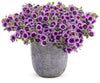 Patio Plants|Calibrachoa - Superbells Blue Moon Punch Mono Hanging Basket 3