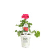 Proven Winners® Annual Plants|Pelargonium - Boldly Hot Pink Geranium 4