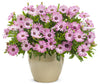 Proven Winners® Annual Plants|Osteospermum - Bright Lights Pink 3