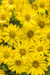 Annual Plants|Osteospermum - Bright Lights Yellow African Daisy  1
