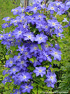 Proven Winners® Shrub Plants|Clematis - Brother Stefan 2