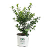 Proven Winners® Shrub Plants|Ilex - Castle Wall Blue Holly 3